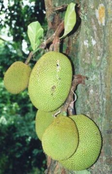 medium_231px-Artocarpus_heterophyllus_fruits_at_tree_1_.jpg
