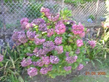 Taille des hortensias ithur burua - Taille des hortensias fleurs ...